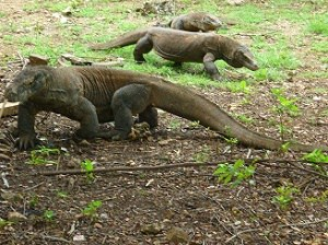 Komodo tours from Bali